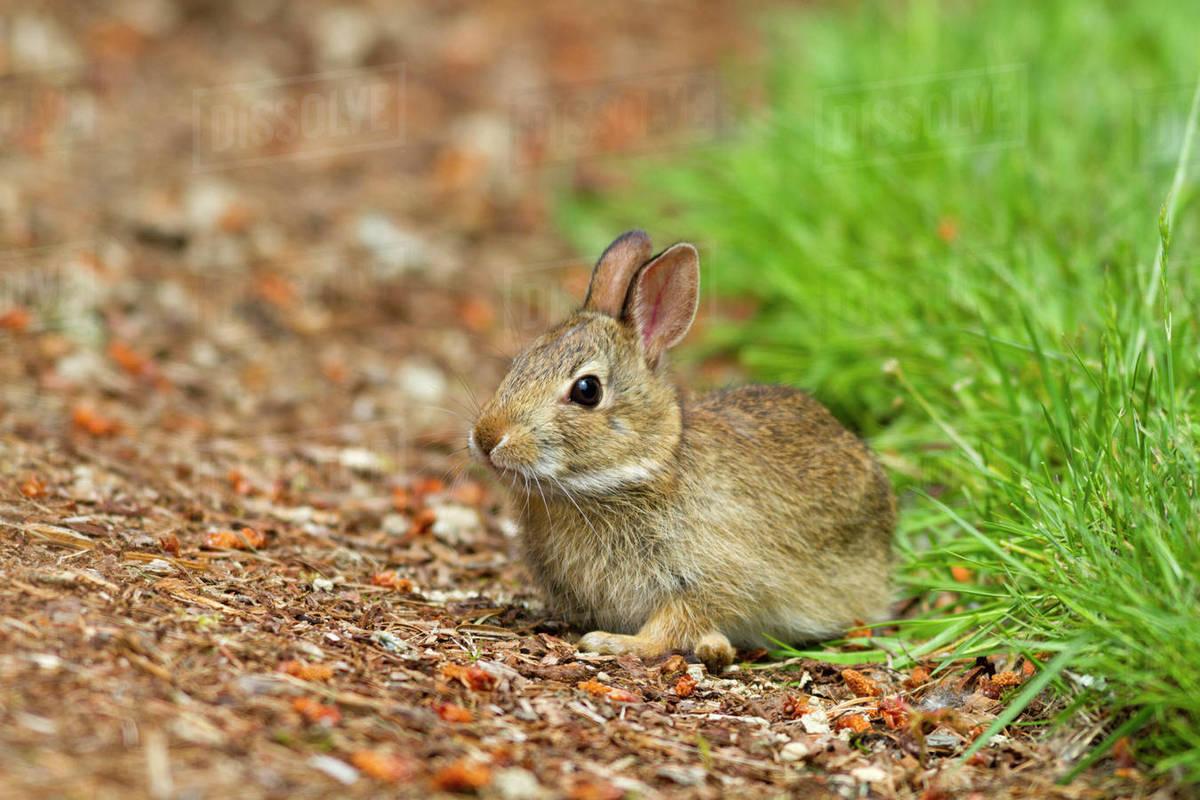 WA, Redmond, Eastern Cottontail baby rabbit (Sylvilagus Floridanus) Rights-managed stock photo
