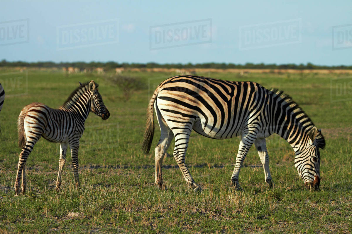 Greenbelt Bowl ⁓ Try These Zebra Stock