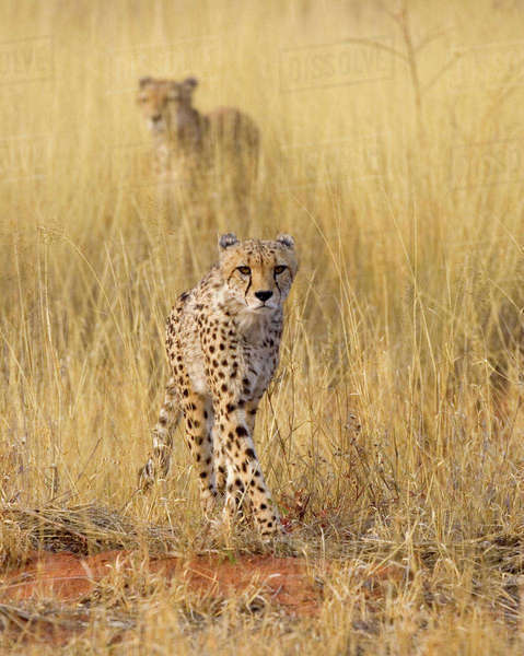 Namibia, Africa: Two Cheetahs (Acinonyx Jubatus) in Golden Grass at Africat Project, Okonjima Rights-managed stock photo