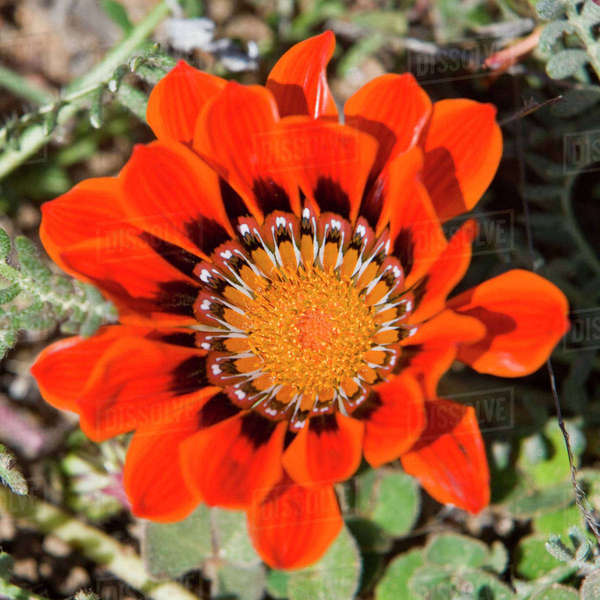 Flowers bloom in the South African spring in Namaqualand, Northern Cape Province. Rights-managed stock photo