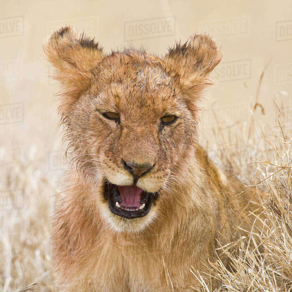 Africa. Tanzania. Lion cub after kill in Serengeti National Park. Rights-managed stock photo