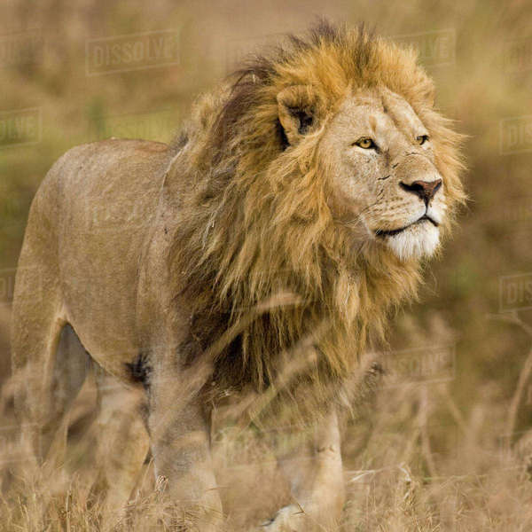 Africa. Tanzania. Male Lion at Ngorongoro Crater. Rights-managed stock photo