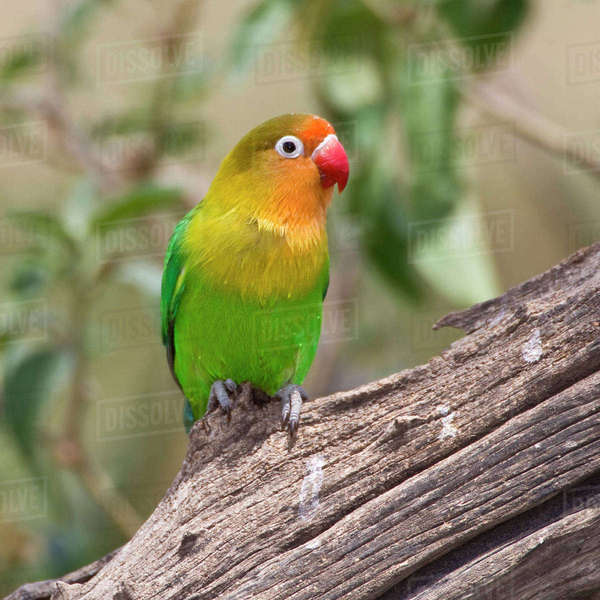 Africa. Tanzania. Fischer's Lovebird at Ndutu in the Ngorongoro Conservation Area. Rights-managed stock photo