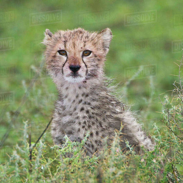 Africa. Tanzania. Cheetah cub at Ndutu in the Ngorongoro Conservation Area. Rights-managed stock photo