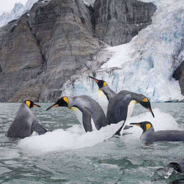 Antarctica, South Georgia Island (UK), King Penguins (Aptenodytes patagonicus) swimming by iceberg calved from tidewater glacier along Golden Harbour on late summer morning Rights-managed stock photo