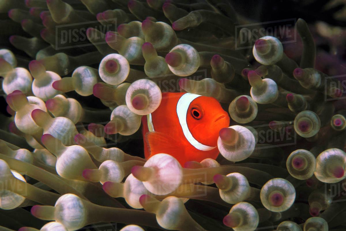 Indonesia, Komodo. Maroon clownfish, or spinecheek anemonefish, or ...