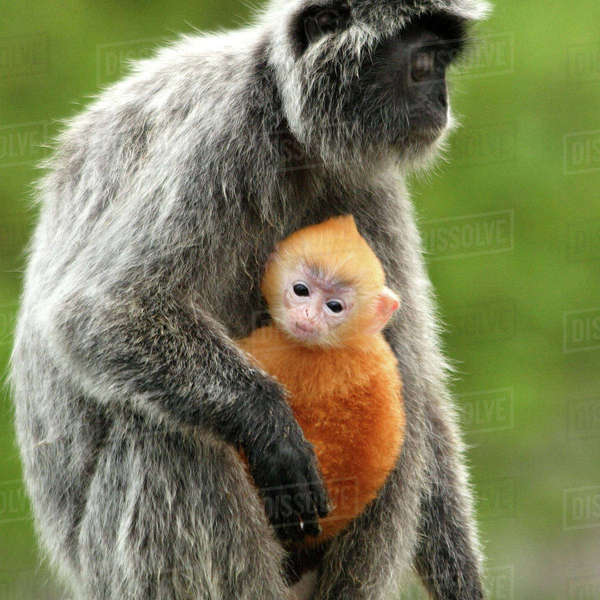 Asia, Borneo, Malaysia, Bako National Park, Silver Leaf Monkey (Trachypithecus cristatus) and offspring Rights-managed stock photo