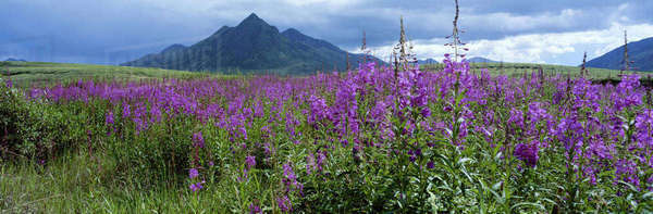 Canada, Yukon Territory, Ogilvie Mountains, Fireweed blooms in back fork pass near mountain Anglecomb. Rights-managed stock photo