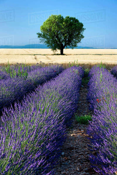 Rows of Lavender and wheat fields converge along the Valensole Plateau, Provence, France. Rights-managed stock photo