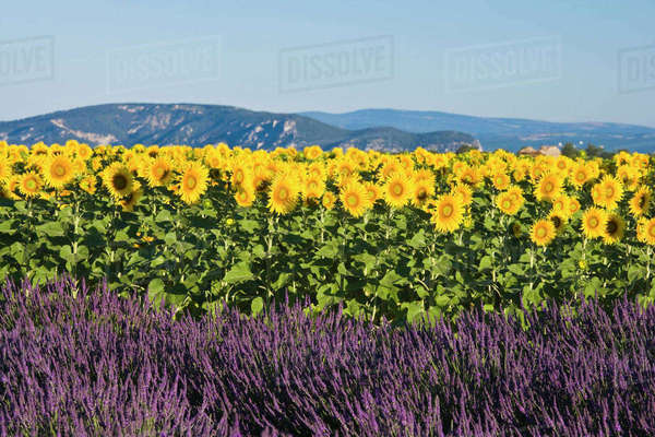 Field of sunflowers and lavender flowers, Valensole, Provence, France Rights-managed stock photo