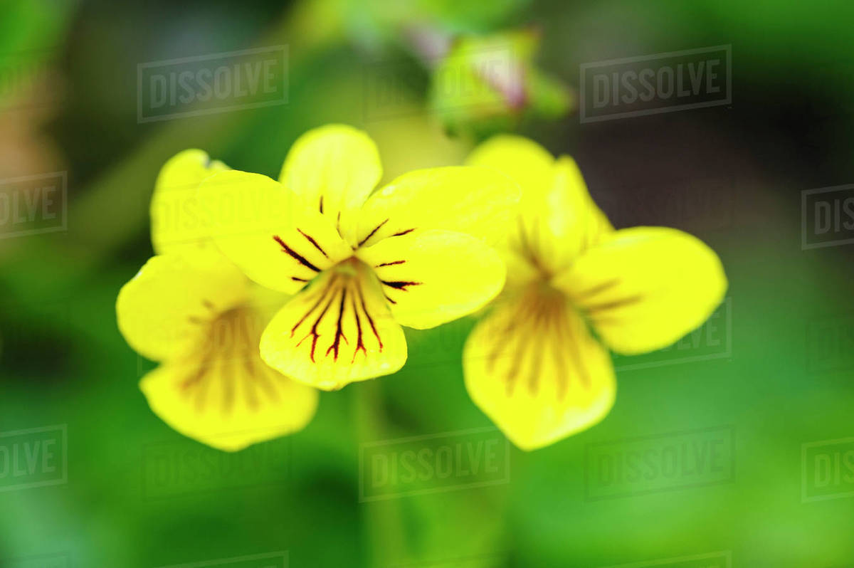 Norway Arctic Yellow Violet Viola Biflora Stock Photo Dissolve