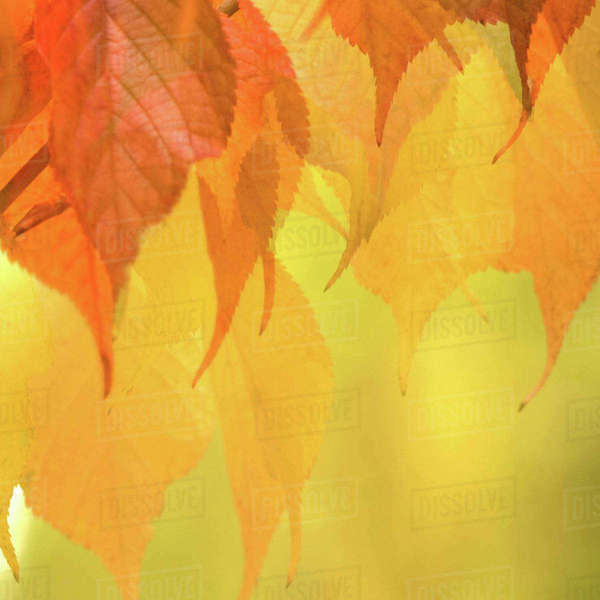 Close-up of Fall Leaves on a Branch Rights-managed stock photo