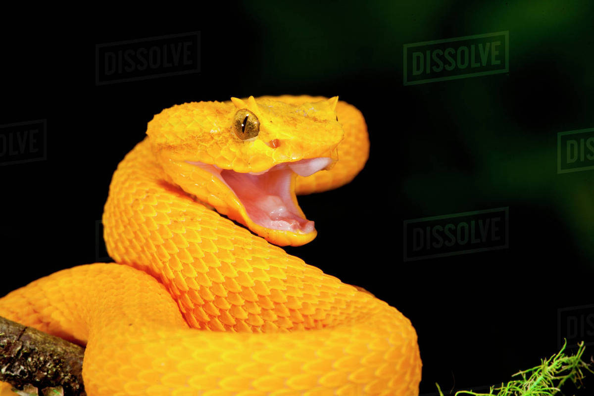 Eyelash Viper Bothriechis Schlegeli Native To Southern Mexico Into