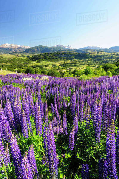 Chile, Aysen, Coyhaique. Lupines, an invasive species spreading in the grazing landscape near Coyhaique. Rights-managed stock photo