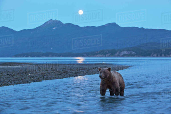 USA, Alaska, Katmai National Park, Grizzly Bear (Ursus arctos) stands in salmon stream beneath rising full moon along Kukak Bay Rights-managed stock photo