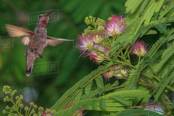Hummingbird feeding off Silk Tree. California. Rights-managed stock photo