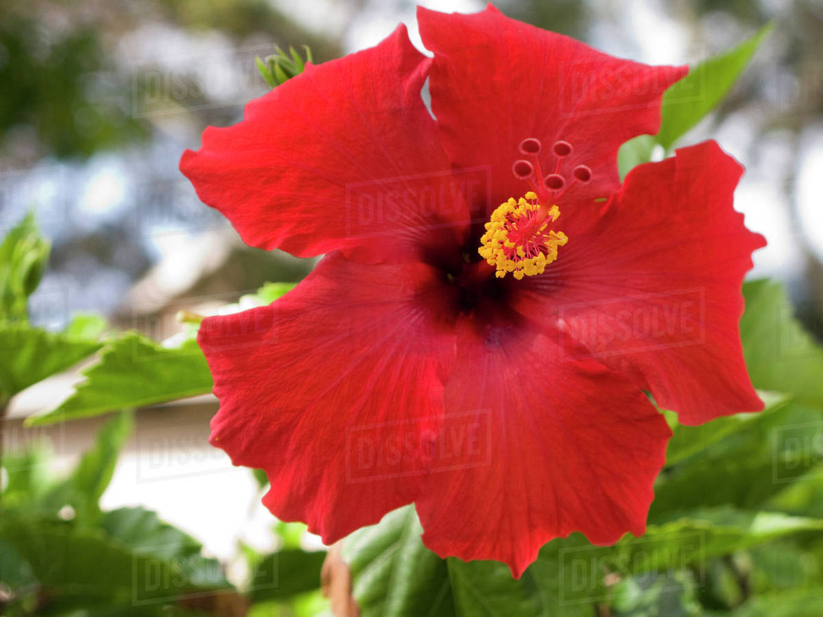 Usa hawaii oahu the hibiscus is the official state flower usa hawaii oahu the hibiscus is the official state flower izmirmasajfo
