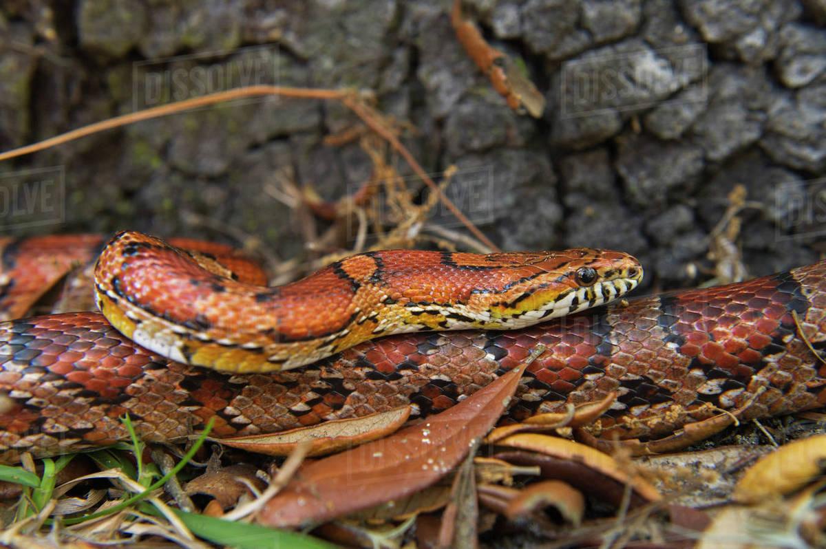 Corn Snake (Elaphe guttata), or red rat snake  Captive  Little St Simon's  Island, Barrier Islands, Georgia, USA stock photo