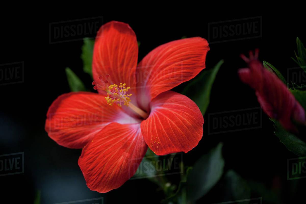 Usa Hawaii Red Hibiscus Flower Molokai Stock Photo Dissolve