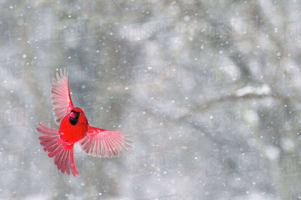 USA, Indiana, Indianapolis. A male cardinal with wings spread in flight against a snowy background. Rights-managed stock photo