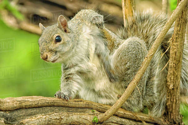 Close-up of an Eastern Gray Squirrel scratching itself on branch. Rights-managed stock photo