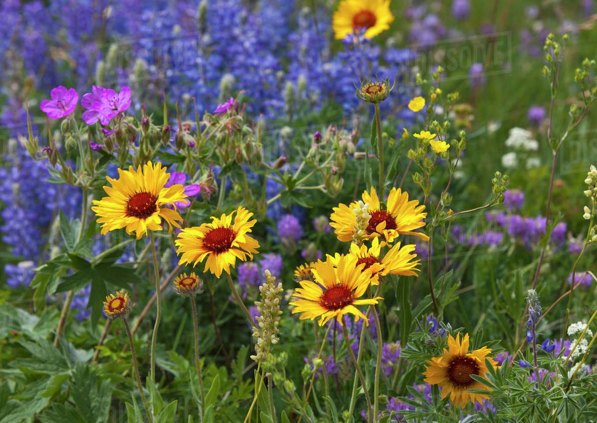Prairie Wildflowers Stock Photo Dissolve