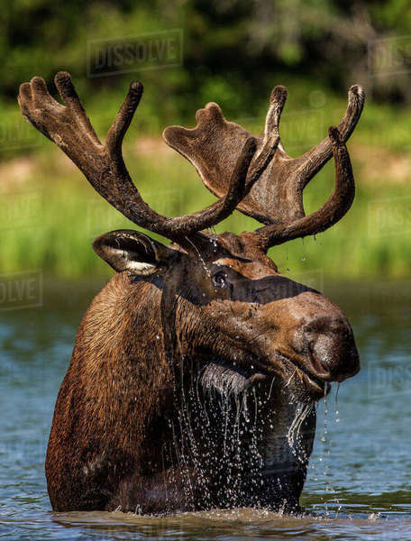 Bull moose feeding in Glacier National Park, Montana, USA Rights-managed stock photo