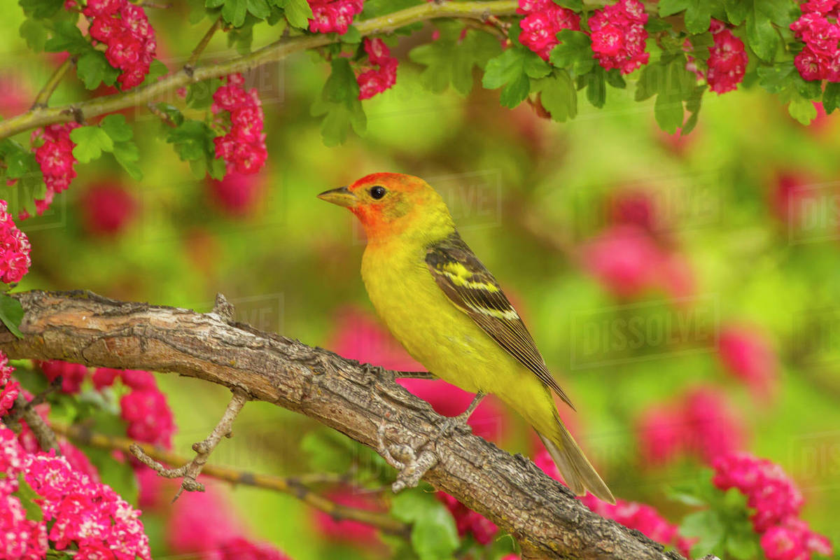 USA, Oregon, Malheur National Wildlife Refuge  Western tanager on limb   stock photo