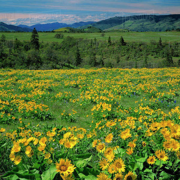 USA, Oregon, Columbia River Gorge National Scenic Area, Tom McCall Nature Preserve, Columbia Gorge, Arrowleaf balsam Root Rights-managed stock photo
