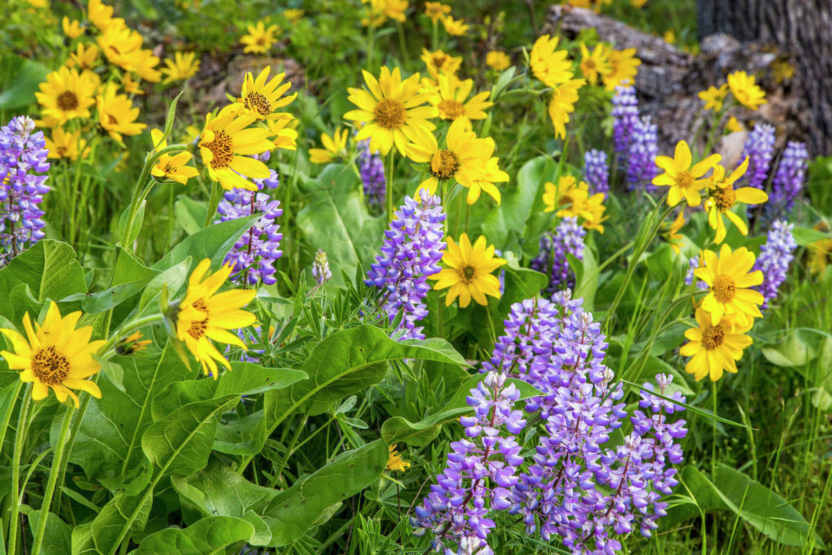 Spring wildflowers in the columbia gorge near rowena oregon usa spring wildflowers in the columbia gorge near rowena oregon usa mightylinksfo