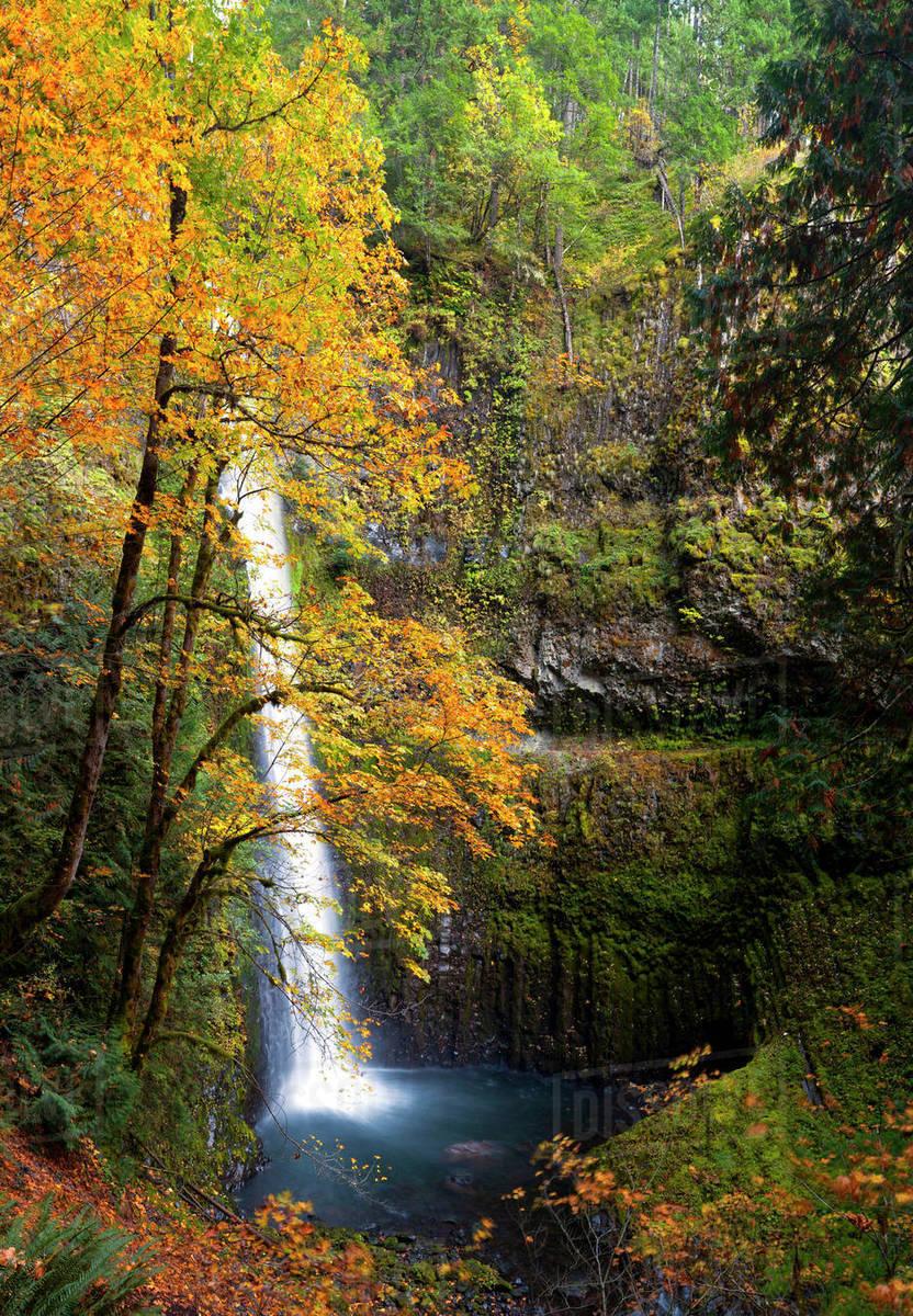 Usa Oregon A Bigleaf Maple Acer Macrophyllum Provides The Yellow