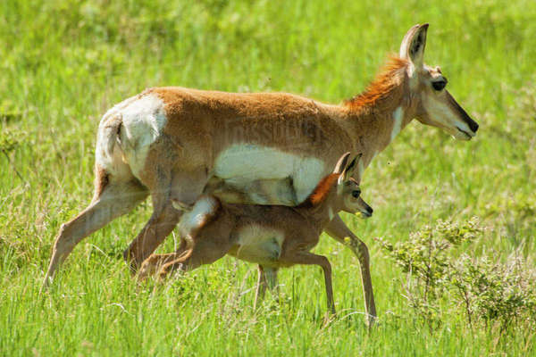 USA, South Dakota, Custer State Park. Pronghorn mother and fawn. Rights-managed stock photo