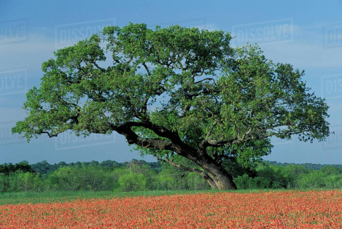 Usa Texas Hill Country Live Oak Tree Among Paintbrush
