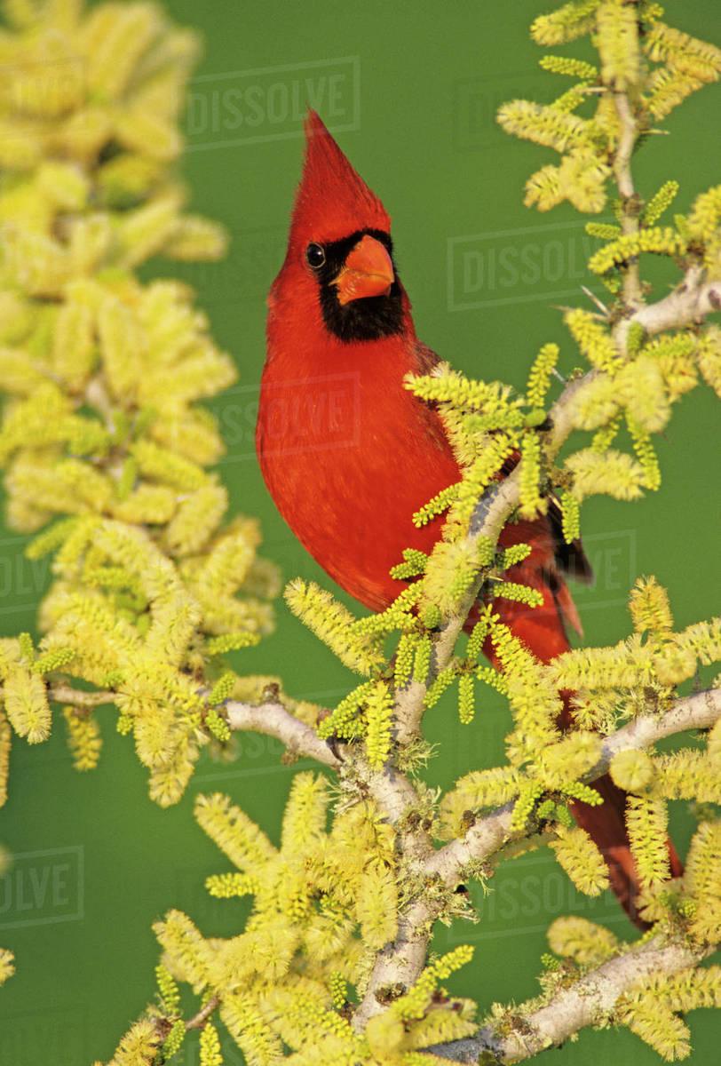 Northern Cardinal Cardinalis Cardinalismale On Blooming Blackbrush