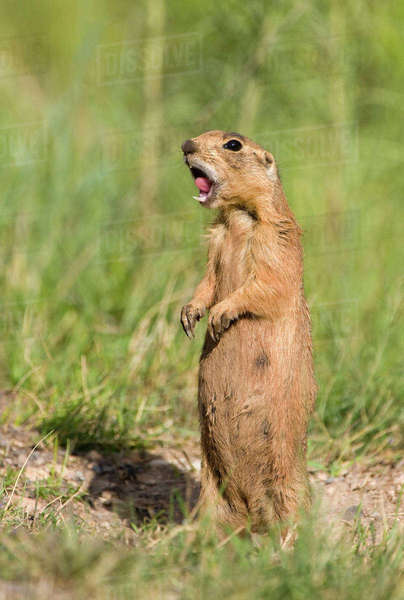 USA, Utah, Bryce Canyon National Park. Close-up of endangered Utah prairie dog calling. Rights-managed stock photo