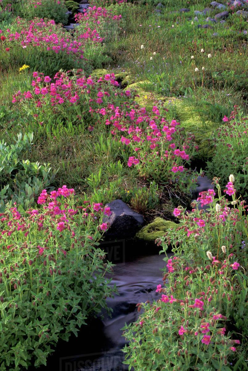 Na Usa Washington Mt Rainier National Park Pink Monkey Flower