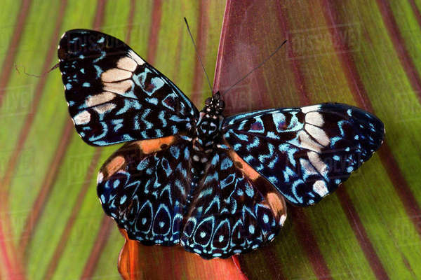 Sammamish Washington Tropical Butterflies photograph Hamadryas arinome the Starry Night Butterfly wings out resting on Canna Lily Rights-managed stock photo