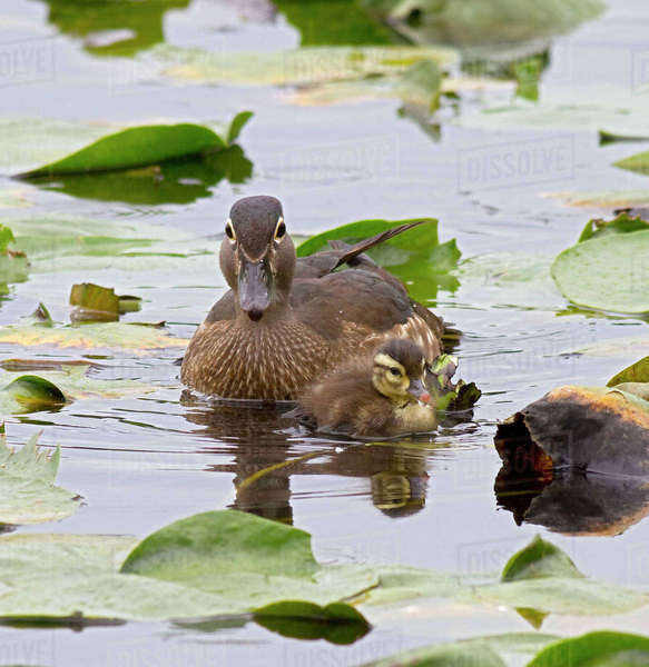 WA, Juanita Bay Wetland, Wood ducks, female and duckling (Aix sponsa) Rights-managed stock photo