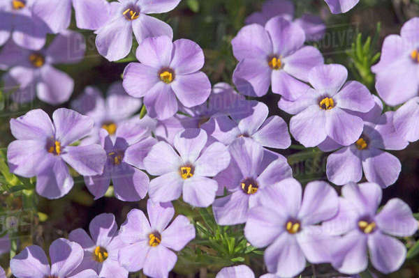 USA, Washington, Cascade Range, Mount Baker-Snoqualmie National Forest, Mount Defiance. Spreading phlox (Phlox diffusa), blooming on an alpine hillside in early summer. Rights-managed stock photo