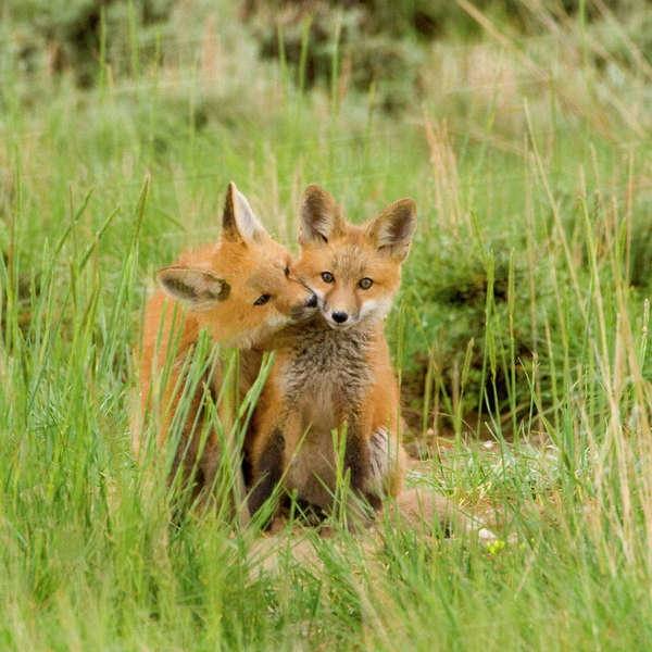 Red Fox (Vulpes Fulva) Kits grooming and licking each other at den near Saratoga, Wyoming Rights-managed stock photo
