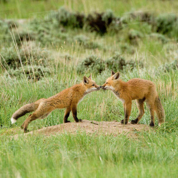 Red Fox (Vulpes Fulva) Kits at den near Saratoga, Wyoming Rights-managed stock photo