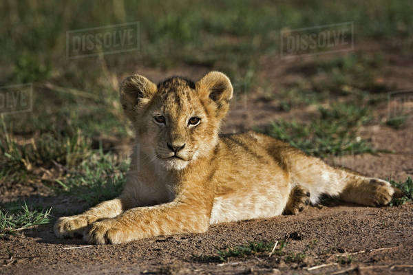 Lion cub, Panthera leo, lying in tire tracks, Masai Mara, Kenya Royalty-free stock photo