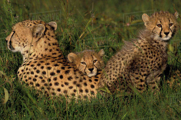 Africa, Kenya, Masai Mara National Park, Cheetah mom and cubs (Acinonyx jubatus) Royalty-free stock photo