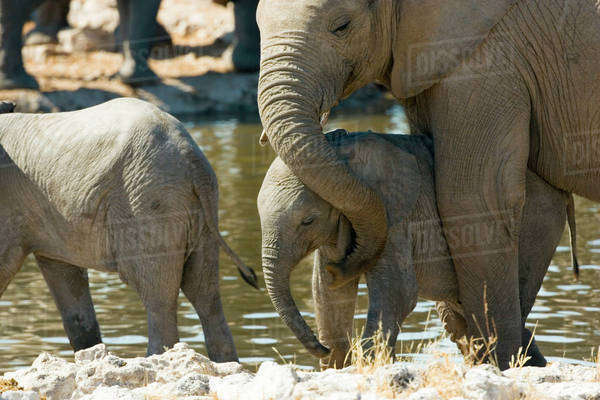 Namibia, Ongava Camp and Etosha National Park, Elephants (Loxodonta africana) and calf at watering hole. Royalty-free stock photo