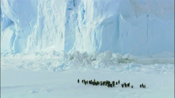 Colony of emperor penguins (Aptenodytes forsteri) standing near iceberg Royalty-free stock video