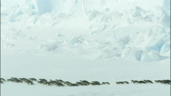 Colony of emperor penguins (Aptenodytes forsteri) walking along iceberg Royalty-free stock video