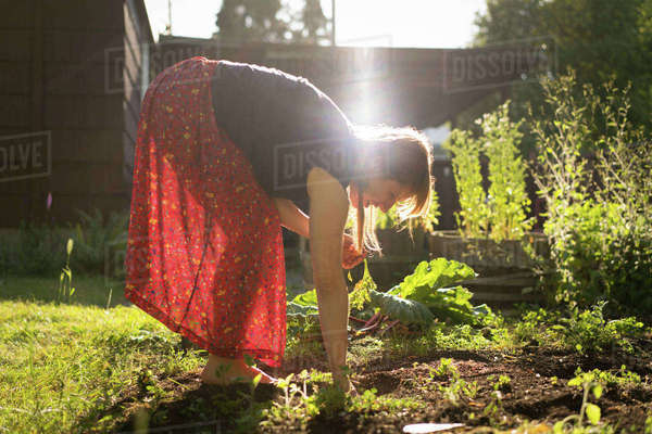 Woman harvesting vegetables from vegetable patch Royalty-free stock photo