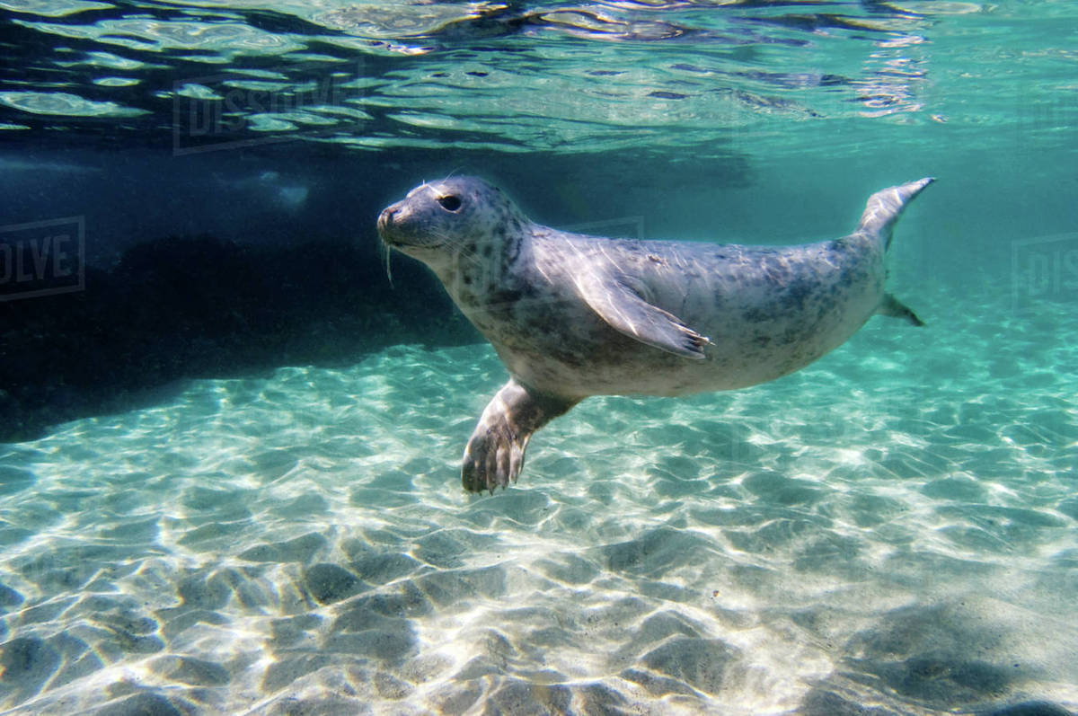 Seal swimming underwater - Stock Photo - Dissolve on seal clip art, seal in the sea, seal animals, seal on land,
