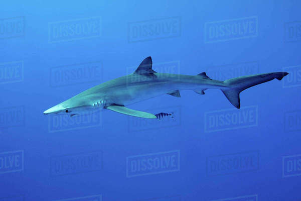 Blue shark swimming underwater Royalty-free stock photo