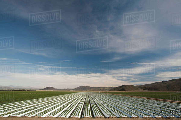 Rows of crops underneath plastic Royalty-free stock photo